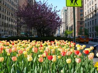 tulipanes en Nueva York MPVNY